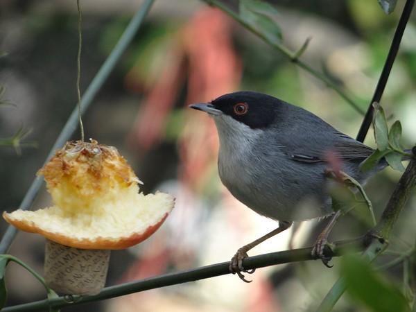 Macho curruca comiendo manzana (1)