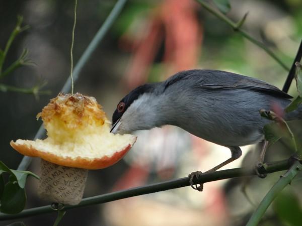 Macho curruca comiendo manzana (10)