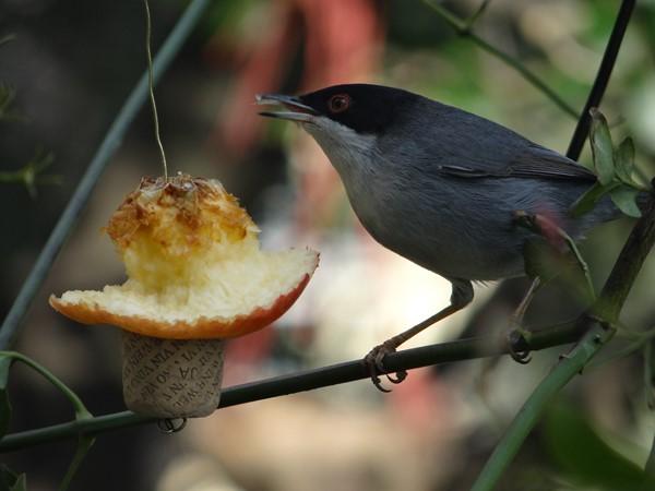 Macho curruca comiendo manzana (11)