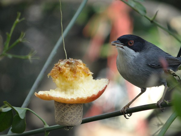 Macho curruca comiendo manzana (6)