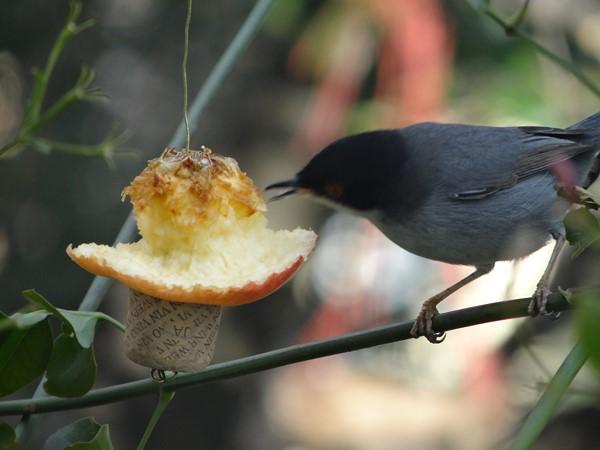 Macho curruca comiendo manzana (7)