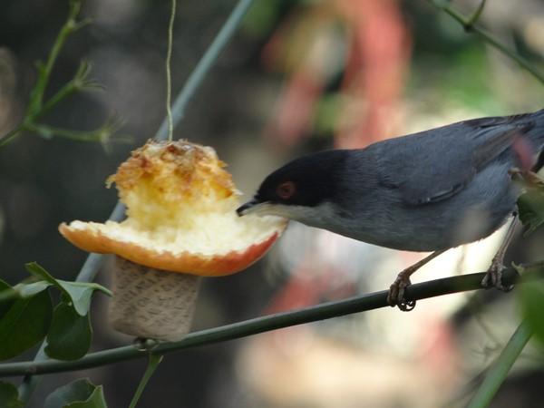 Macho curruca comiendo manzana (8)