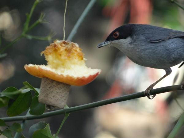 Macho curruca comiendo manzana (9)